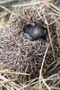 Hérisson commun (Erinaceus europaeus) (aurelien.ebel) Tags: alsace france lawantzenau erinaceidae erinaceinae mammifère hérisson