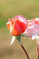 DSC_5535 Rose (PeaTJay) Tags: nikond300s sigma reading lowerearley berkshire macro micro closeups gardens outdoors nature flora fauna plants flowers rose roses rosebuds