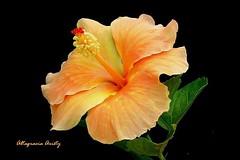 Hibisco/Hibiscus (Altagracia Aristy) Tags: hibiscus cayena laromana quisqueya repblicadominicana dominicarepblic caribe carabi antillas antilles trpico tropic amrica altagraciaaristy fujifilmfinepixhs10 fujifinepixhs10 fujihs10 caribbean sfondonero blackbackground naturallight luznatural hibisco