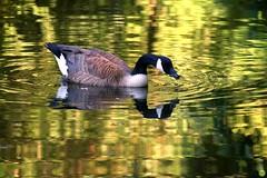Liquid gold (petrOlly) Tags: europe europa nature natura przyroda germany deutschland moenchengladbach rheydt summer schlossrheydt birds bird water wateranimal