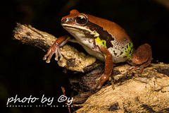 Litoria brevipalmata (Green-thighed Frog) (peter soltys) Tags: petersoltys photography macro macrophotography adventure photobycy herping amphibia frog litoriabrevipalmata greenthighedfrog litoria