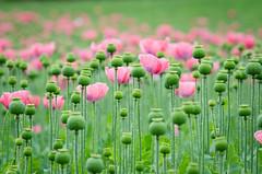 Mohnblumen (Tomsch) Tags: mohnblumen poppies flowers flower blumen plant pflanzen nature natur green grn nikon armschlag mohndorf austria sterreich loweraustria niedersterreich