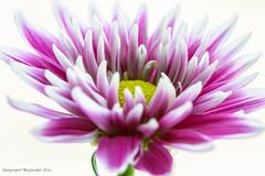 Flower (Baljinder.Gill) Tags: flowers flower flowerphotography flowerpetals flowermacro macro macroflower macronature macrophotography nikon nature naturephotography
