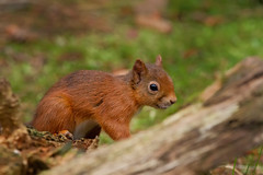 Juvenile Red (ABel-Photo) Tags: scotland native red squirrel juvenile wild trossachs
