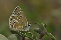 Polyommatus eumedon (hisari45) Tags: polyommatus eumedon butterfly macro nature spring color