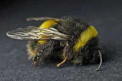 366 - Image 235 - Drowsy bee... (Gary Neville) Tags: 365 365images 366 366images photoaday 2016 sonycybershotrx100 sony sonycybershotrx100iii rx100 mk3 garyneville