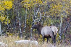 Bull Elk with Aspens (Aaron Spong Fine Art) Tags: bull elk aspen grove colorado rmnp rocky mountain national park deer forest aspens wildlife animals animal