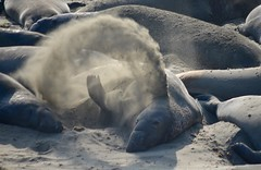 Elephant seal, flicking sand (Williams5603) Tags: ca california wildlife sansimeon bigsur seal elephantseal san simeon piedrasblancas