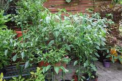 Chili-Pflanzen (blumenbiene) Tags: chili chilli chillie chilie plant pflanze garten garden pepper fruits früchte schote schoten peppers