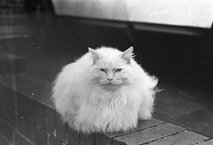 Meow (the_anachronist) Tags: ilford hp5 iso400 nikon f55 nikkor 50mm f18d 35mmfilm filmisnotdead selfdeveloped bw monochrome outdoors urban life cat fluffy white wall animal nature stare