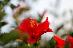 ILCE-3000-20160822-00361 // Minolta MC (MC-II) Rokkor-PF 58mm 1:1.4 (Otattemita) Tags: 58mmf14 florafauna mcrokkor minolta minoltamcmciirokkorpf58mmf14 fauna flora flower nature plant wildlife minoltamcmciirokkorpf58mm114 sony sonyilce3000 ilce3000 58mm cnaturalbnatural ota
