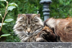 Cute calm cat (Ineke Klaassen) Tags: cute cat kat pet huisdier huisdieren katten cats chat chats gat gatto katze gato kissa    maka kot  poes puss animal animals outdoor sony sonyalpha sonya6000 dieren dierenfoto photography glasstad hofjevanaerden zuidholland dier animales nederland thenetherlands netherlands dutch