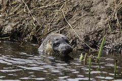 The River Tone Seal (me'nthedogs) Tags: seal commonseal ham river tone somerset levels