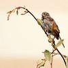 soggy sparrow (MyMimiToo) Tags: wet bird rain sparrow henrywadsworthlongfellow therainyday perching oldworldsparrows housesparrow