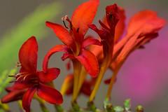 Des Teufels Blume - The devils flower (ralfkai41) Tags: garden gartenmontbretie pflanze iris luzifer lucifer blossoms flower blten blume irises plant nature schwertlilien crocosmiiflora