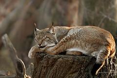 Dreaming (StevenReburgh) Tags: luchs lynx lynxlynx zoo mnchen munich hellabrunn cats catofprey sunlight