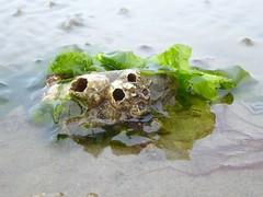 Barnacles on a mussel, Boschplaat (Alta alatis patent) Tags: boschplaat wadden barnacles mussel algae lowtide