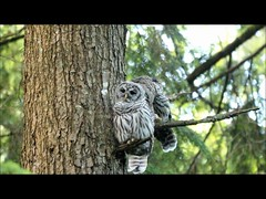 The Muppets (T0nyJ0yce) Tags: barredowl owls siblings wild raptor birdofprey owlet fledgling birds wildlife family