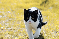Cat (BzhPaco) Tags: flin chat cat animal pets