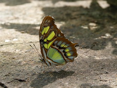 Malachite Butterfly - on the Rocks (Toats Master) Tags: butterfly malachite wings flight insects nature