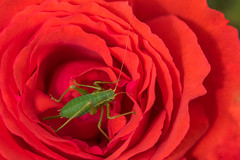Green on Red 3 (Phal44) Tags: canon 7d2 7d mk2 100mmf28 f28l macro rose red flower green insect garden