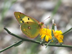 Colias crocea...Clouded yellow (quarzonero ...Aldo A...) Tags: coliascrocea butterfly cloudedyellow nature insetto insect yellow sunrays5 coth5 ngc npc
