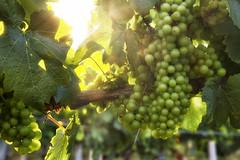IMG_8880CEfx (Ol' Gaffer) Tags: grapes grape vine vineyard elkrunvineyard sunshine flare mountairy maryland harvest fields summer wine whitewine warmth