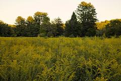 Goldenrods & Trees in Golden Light (Jim.Collins) Tags: goldenrod trees goldenlight nature