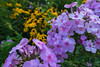 A Flock of Flowers (tquist24) Tags: bonneyvillemillcountypark indiana nikon nikond5300 outdoor bokeh color flower flowers geotagged purple summer violet bristol unitedstates
