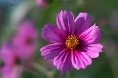 _DSC0222-Modifier.jpg (xpressx) Tags: bokeh 50mm nikon flowers passionphotonikon fleurs nd4 18 parc photographe lightroom nikond5000 nd8 nikkor flore d5000
