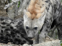 Hyenas and rat on safari (dw*c) Tags: safari hyena africa southafrica phindar trip travel nikon picmonkey