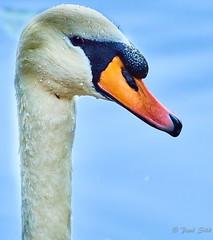Portrait Of A Swan (paulsilk photos) Tags: bird muteswan outdoor portrait wildlife