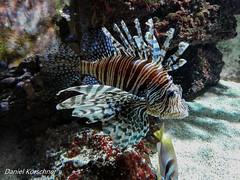 Lionfish (danielkrschner) Tags: wilhelma zoo stuttgart germany animals nature lionfish firefish pterois fish