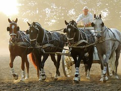chariot race (Eisgrfin (very busy)) Tags: histchariotrace horses dust wagenrennen celle niederschsischeslandgestt hengstparade eisgrfin germany
