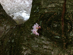 Plum Blossom (Ditto Pics) Tags: nature plumblossom flower flowertrees trees