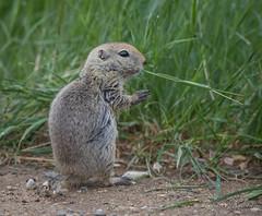 Richardson's Ground Squirrel (Turk Images) Tags: citellusrichardsonii richardsonsgroundsquirrel leader mammals saskatchewan sciuridae squirrels prairie rodents spring