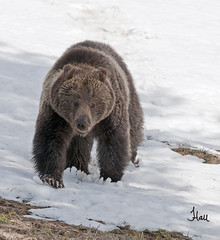 Springtime Yellowstone Grizzly Bear - 4687b+sg (teagden) Tags: bear park snow photography spring day wildlife national april yellowstonenationalpark opening yellowstone grizzly springtime 2012 ynp grizz yellowstonepark wildlifephotography jenniferhall highqualityanimals