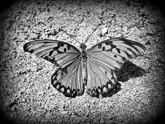 Freedom (mariandreadp) Tags: naturaleza blanco nature sunshine butterfly photography freedom flickr negro vida alas fotografia mariposa