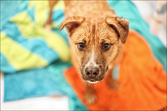 Friendship PENDING (i ea sars) Tags: portrait rescue dog baby feet home wet look animal canon puppy bathroom shower nose 50mm mutt paw eyes bath funny colorful dof bright bokeh shepherd expression young ears bano pit bull pitbull depthoffield cleaning clean whiskers perro terrier hund wash angry towels 5d bathtub doggy paws mad shelter bestfriend adopted adopt mascota washroom pes amstaff petrait shelterpet wetdog rescuedog canon50mm canonef50mmf14usm  shelterdog rescuepet pejsek canoneos5d pibble  banar canoneos5dmarkii 5dmarkii 5dii 5dmkii canoneos5dmkii highqualitydogs