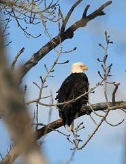 Bald Eagle (K Fletcher) Tags: canada calgary bird baldeagle raptor alberta inglewood