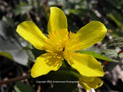 Marsh Marigold/Kingcup (Caltha palustris) (Amberinsea Photography) Tags: flower nature beautiful amazing sweet sweden wildflower calthapalustris kingcup kabbeleka marshmarigol amberinseaphotography