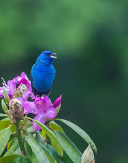 Blue and Magenta... (Rob Travis) Tags: blue bird indigobunting rhodotree