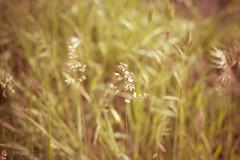 prima (miglio) Tags: flower canon bokeh tuscany 7d m42 siena fiori toscana valdorcia cinematiclighting porst canoneos7d