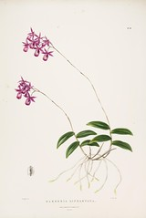 n98_w1150 (BioDivLibrary) Tags: guatemala mexico orchidaceae plants missouribotanicalgardenpeterhravenlibrary bhl:page=769214 dc:identifier=httpbiodiversitylibraryorgpage769214 taxonomy:binomial=barkerialindleyana womeninscience artist:name=augustainneswithers artist:viaf=95819243 augustainneswithers q2870951 illustrator:wikidata=q2870951 hernaturalhistory
