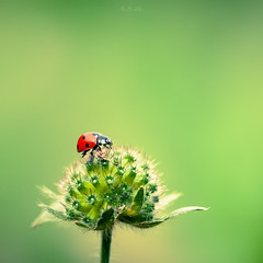 Greeny morning (Marc Benslahdine) Tags: red flower macro green nature bokeh ladybug coccinelle lightroom canonef100mmf28macrousm canoneos5dmarkii ©marcbenslahdine marcopixcom