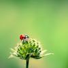 Greeny morning (Marc Benslahdine) Tags: red flower macro green nature bokeh ladybug coccinelle lightroom canonef100mmf28macrousm canoneos5dmarkii ©marcbenslahdine marcopixcom