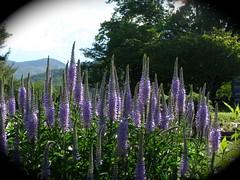 Purple Spears (Melinda Stuart) Tags: flowers mountains orchid garden nc spring flora purple spears lavender veronica southern acer appalachian bigtree vignette spikes blueridge 2012 speedwell mystuart blacksrange