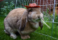 Tilly Has Got Her Hat On (Bucky O'Hare) Tags: silly rabbit bunny bunnies wearing up hat canon dressing dressingup rabbits 50d