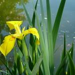 Yellow Iris by Water thumbnail
