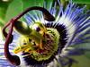 Passiflora,  il fiore della passione (antonè) Tags: sardegna macro natura passiflora grazie belo fofa leggenda fioredellapassione antonè usini ringexcellence flordaalma